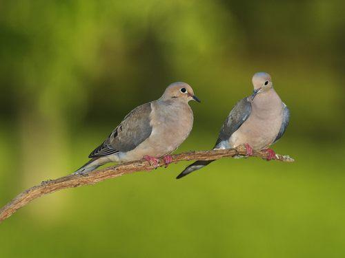 Mourning Dove Symbolism