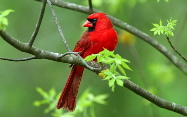 Red Cardinal Bird Symbolism Whispers Channels Prophecies Visions