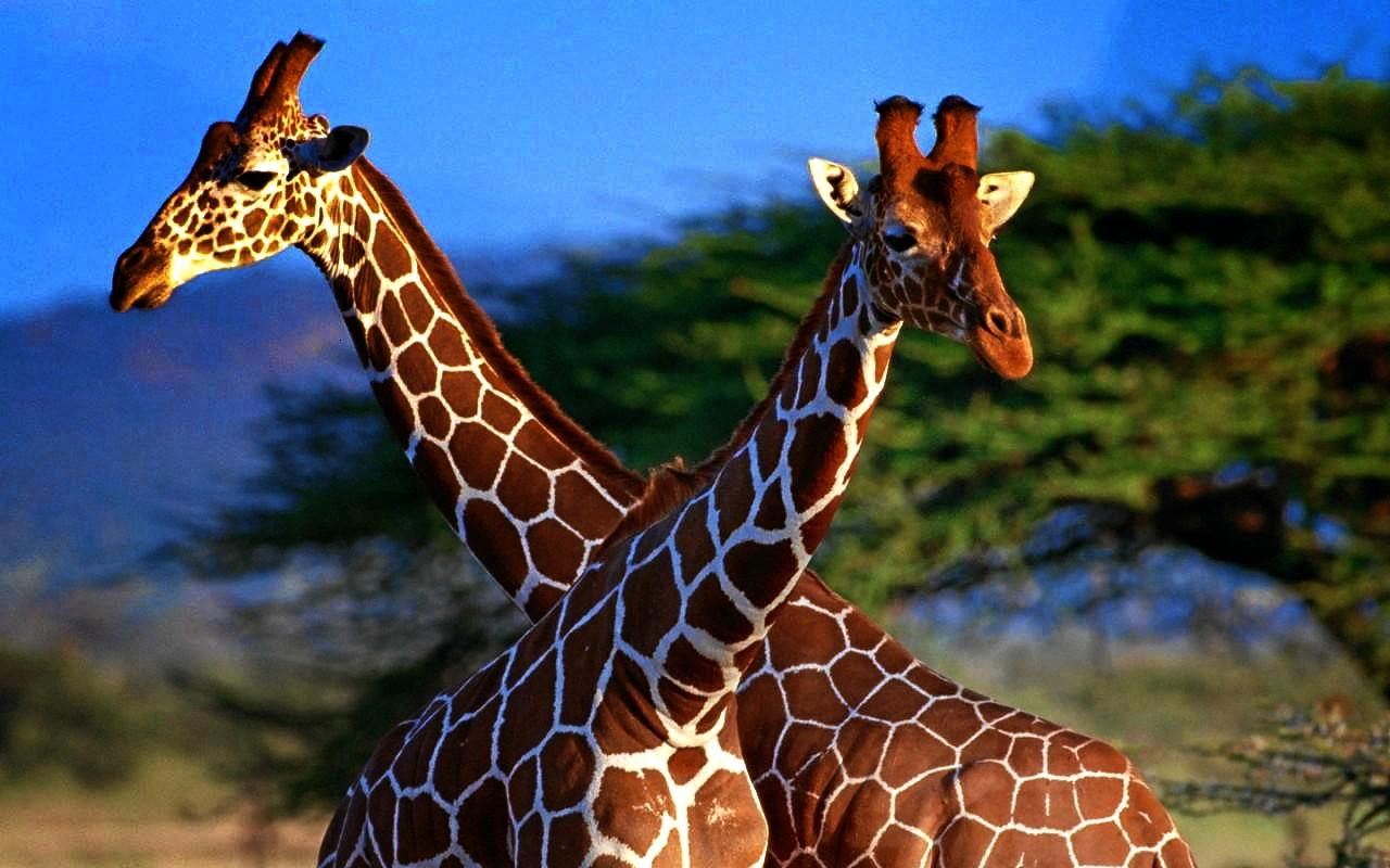 Giraffe symbolism whispers channels prophecies visions about me biocorpaavc Images
