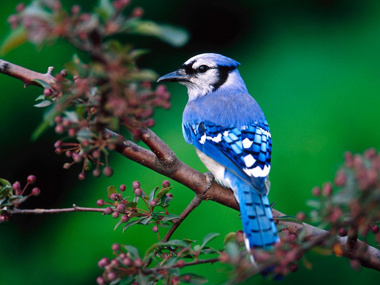 Blue Jay Symbolic Meaning Whispers Channels Prophecies Visions