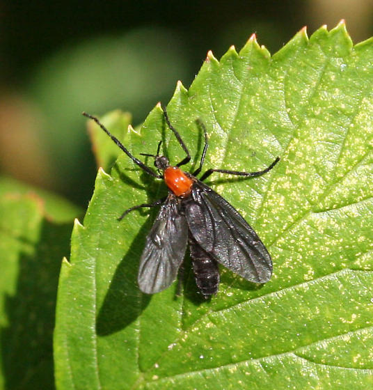 Plecia Neararctica Hardy [Love Bug] Symbolic Meaning