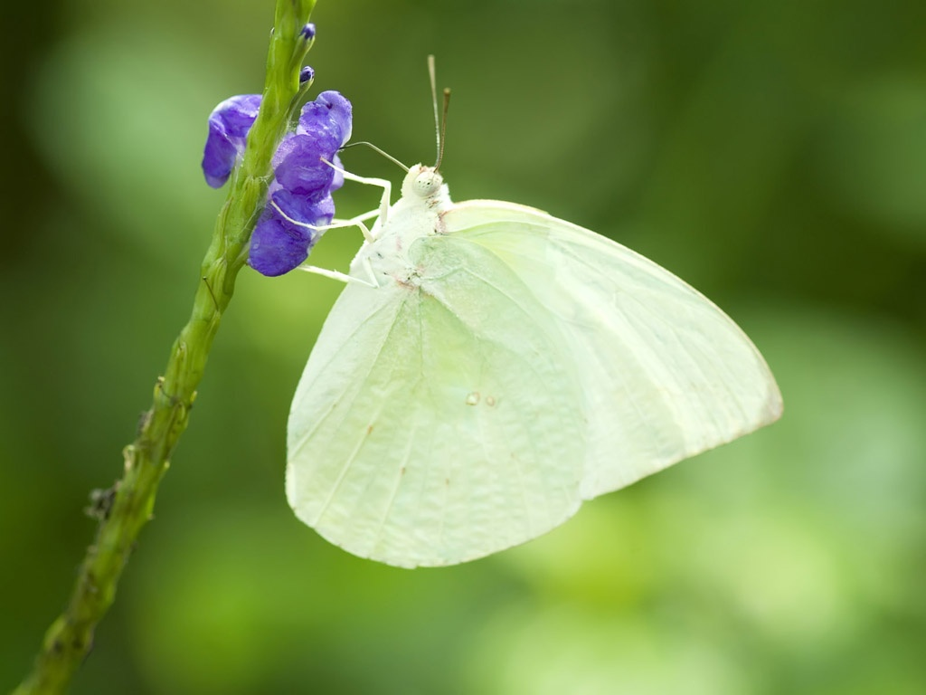 The Symbolic Meaning Of The White Butterfly Whispers Channels