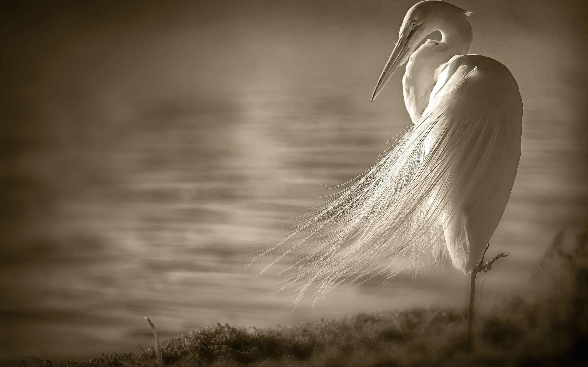 The Great Egret Adrea Alba Symbolic Meaning Whispers Channels