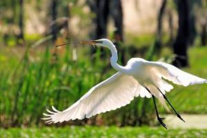 birds-egrets-flying-great-egret-herons-1686082-480x320