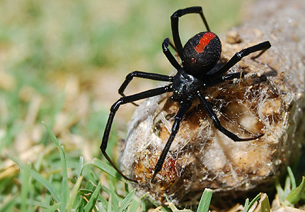 Black Widow Symbolic Meaning Whispers Channels Prophecies Visions