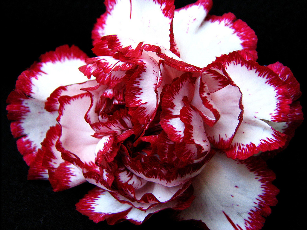 Carnation Flower Symbolic Meaning Whispers Channels Prophecies