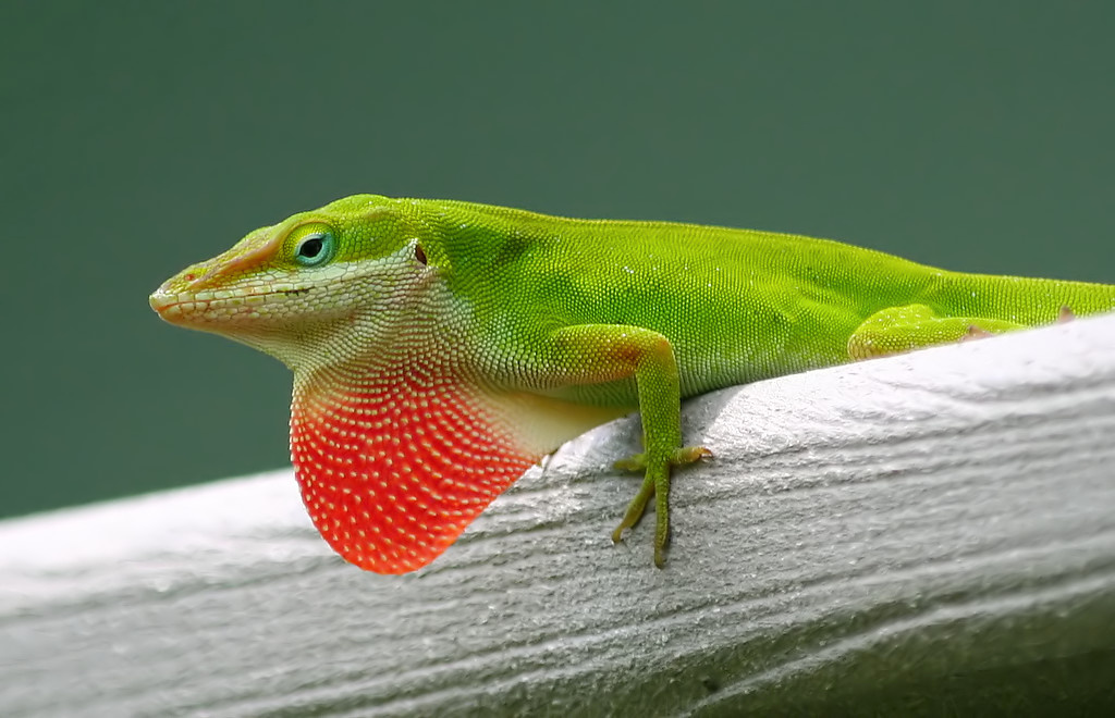 Symbolic Meaning Of The Green Anole Lizard Male