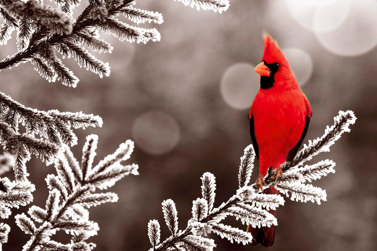 The message of the red cardinal 6 25 15 whispers - Winter cardinal background ...