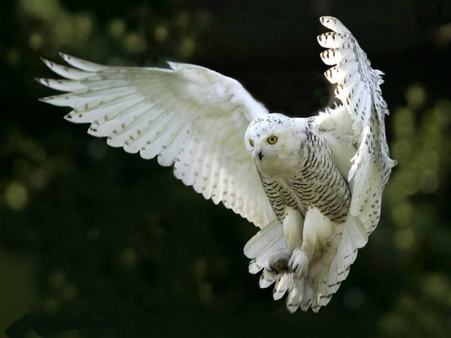 Snowy Owl Bubo Scandiacus Symbolic Meaning Whispers Channels
