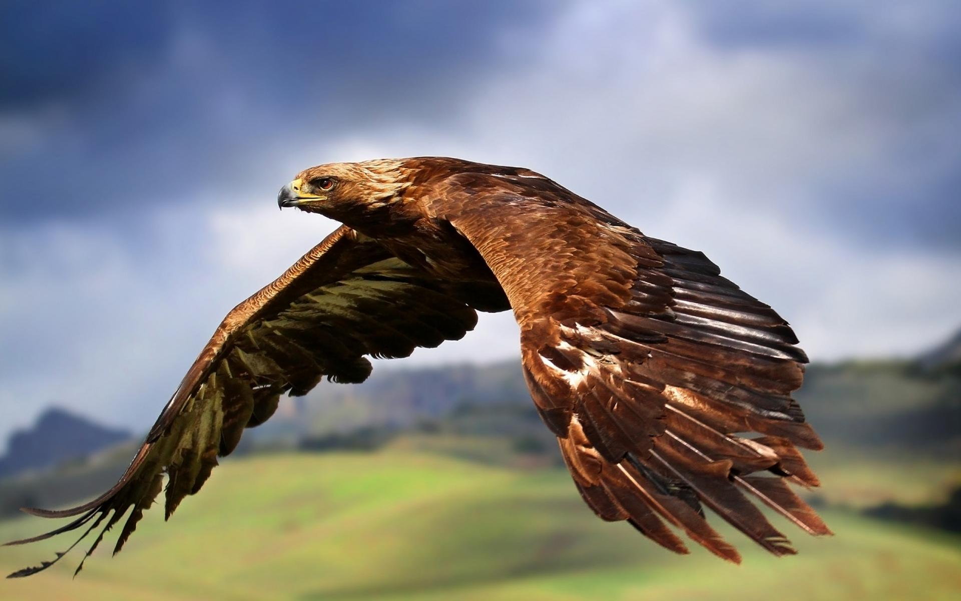 Spiritual Meaning Of The Golden Eagle Whispers Channels