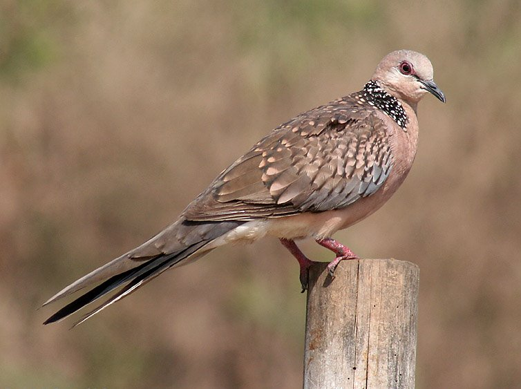 Spotted Dove Symbolic Meanings Whispers Channels Prophecies