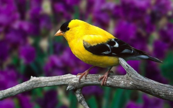 Gold Finch Symbolic Meanings Whispers Channels Prophecies Visions