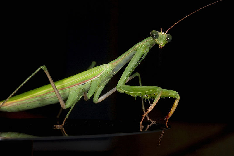 Praying Mantis Symbolic Meaning Whispers Channels Prophecies