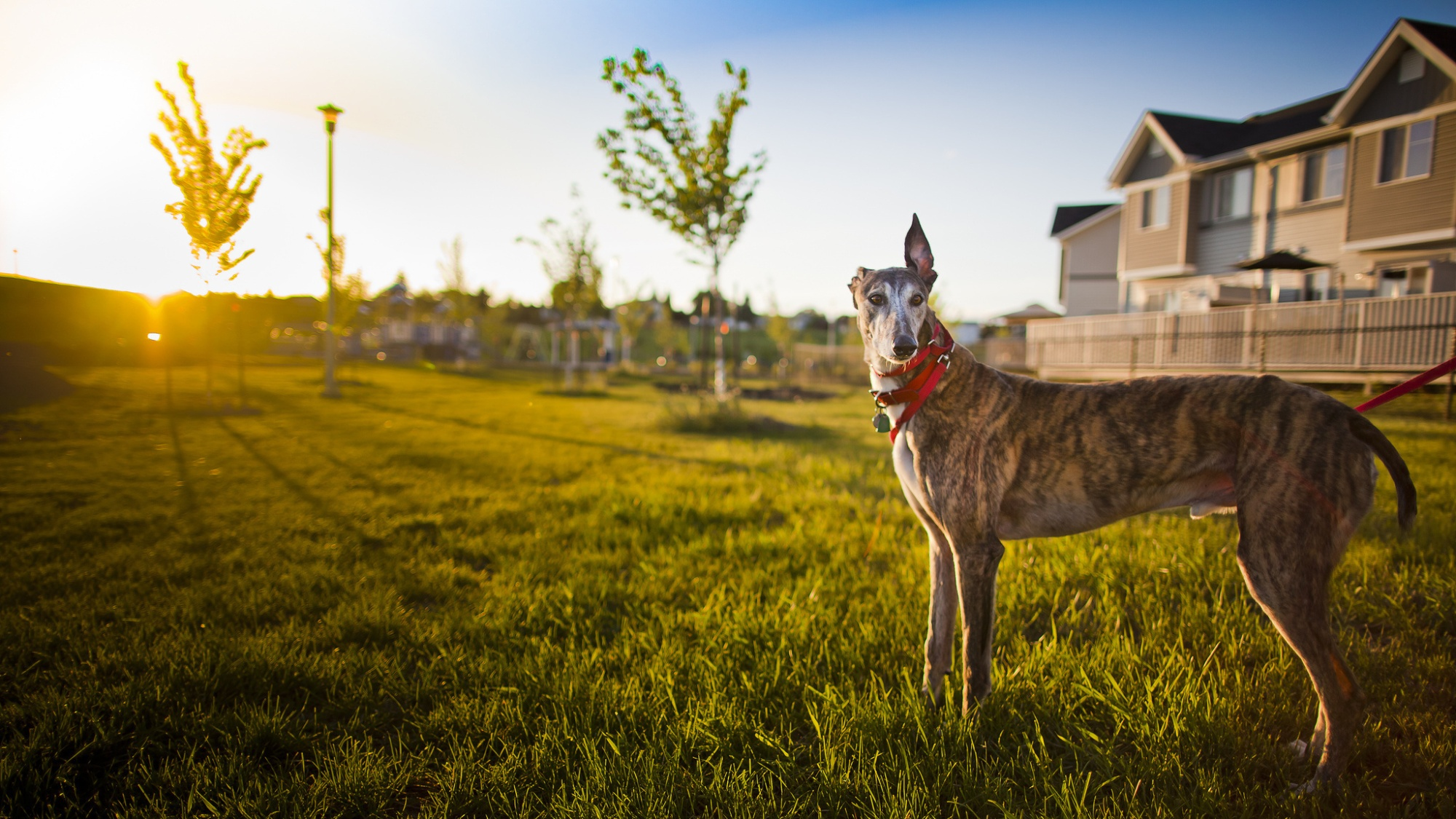 Greyhound Canis Lupus Familiaris Symbolic Meaning Whispers