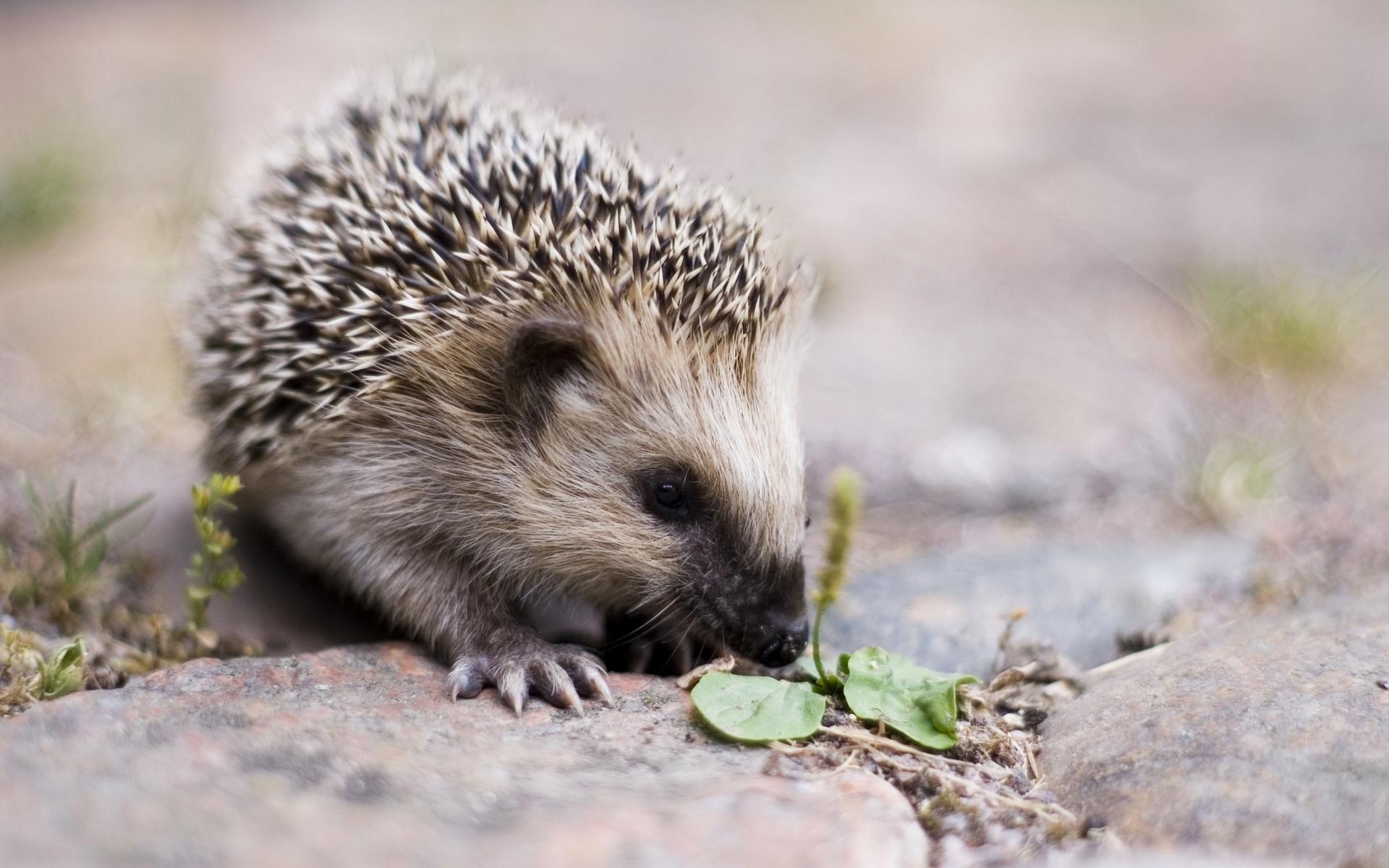 Dream interpretation: what the hedgehogs dream about