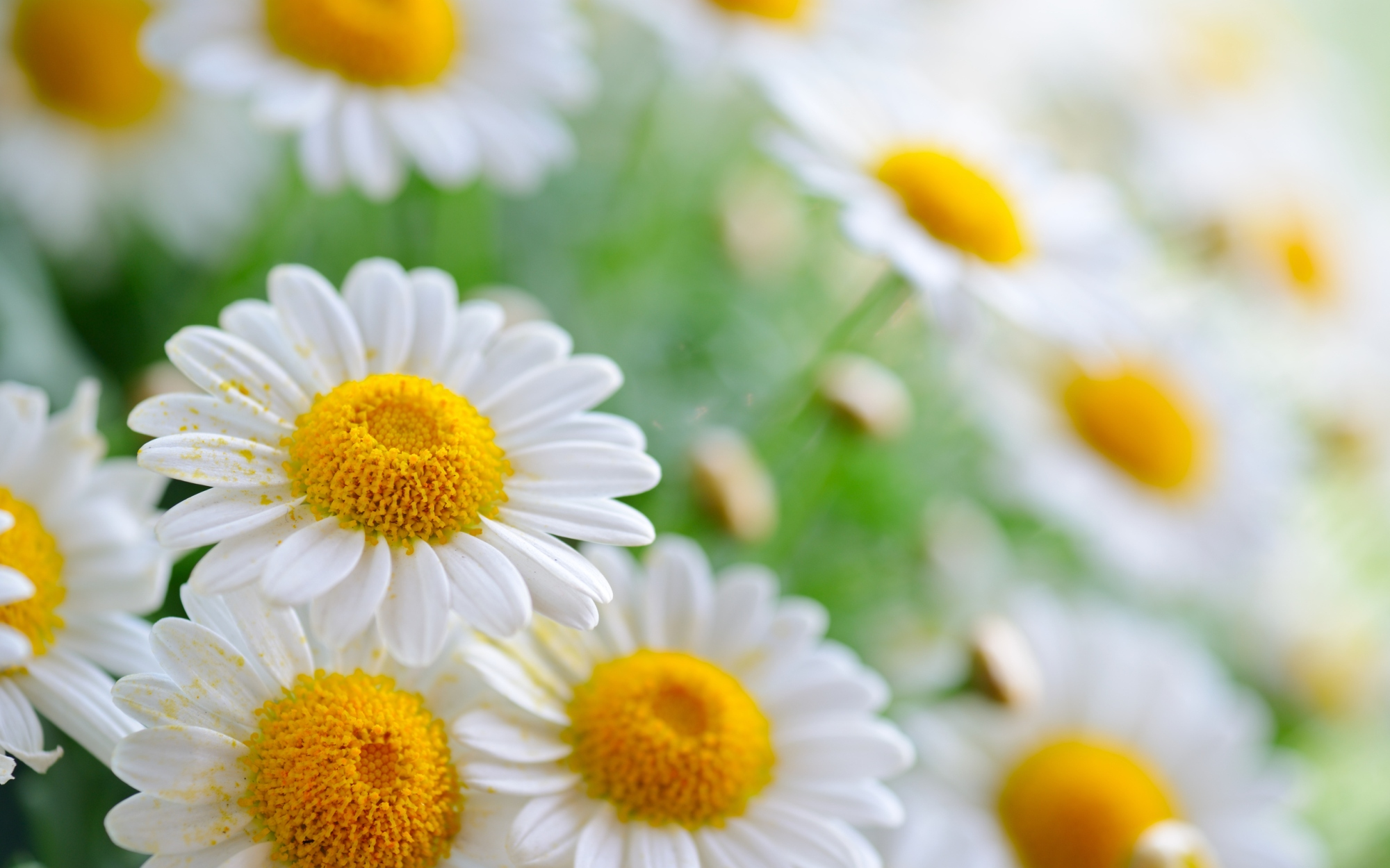 Common Daisy Flower Whispers Channels Prophecies Visions