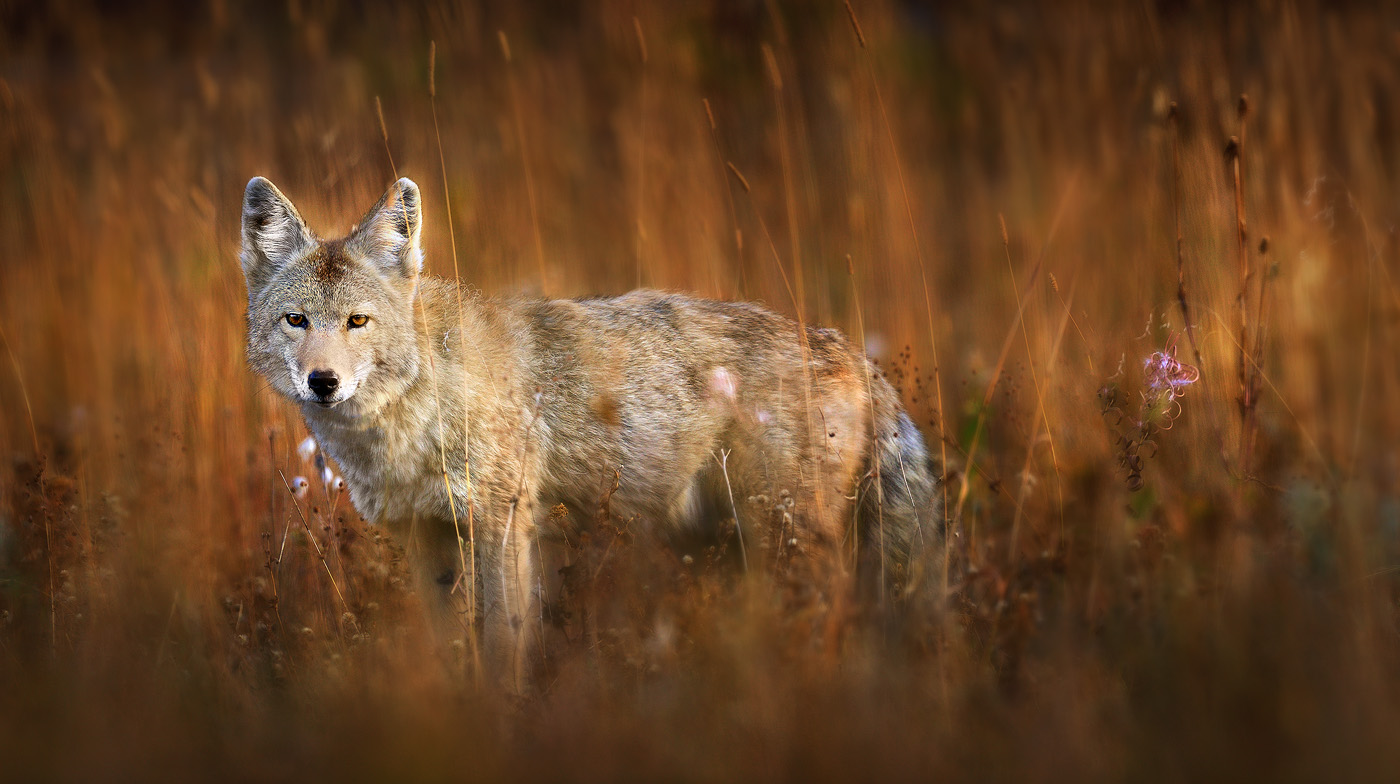 Coyote canis latrans symbolic meaning whispers channels coyote canis latrans symbolic meaning whispers channels prophecies visions biocorpaavc Choice Image
