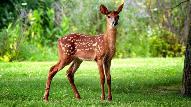 Baby Deer Fawn Symbolic Meaning Whispers Channels Prophecies