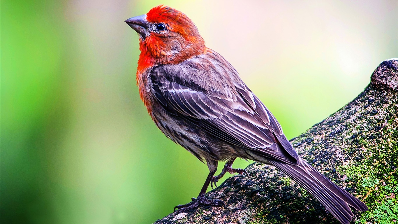 House finch haemorhous mexicanus symbolic meaning whispers about me biocorpaavc
