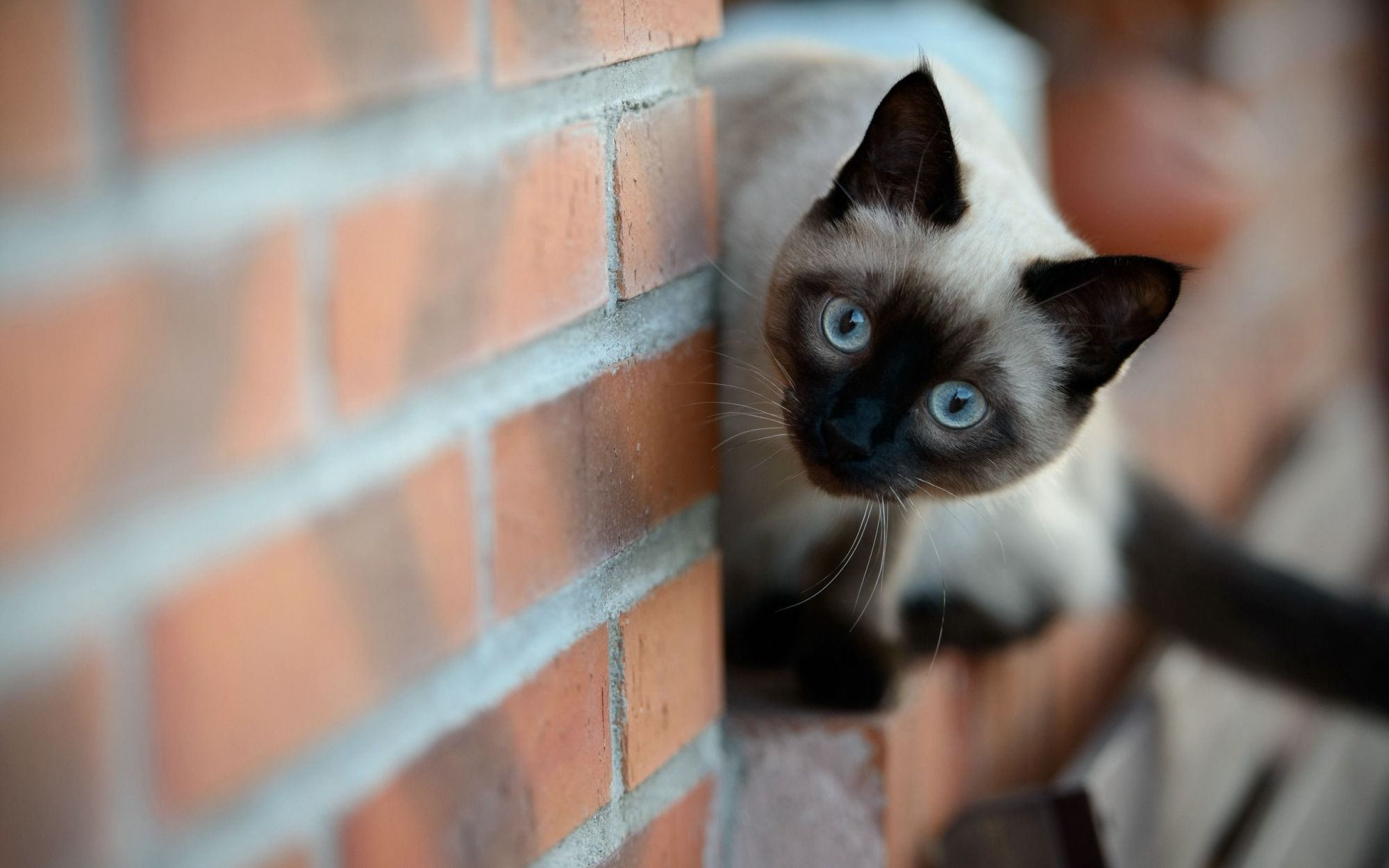 The Symbolic Meaning Of Siamese Cats Felis Catus Whispers
