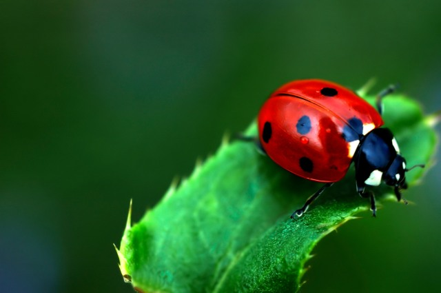 Lady Bug Symbolic Meaning Whispers Channels Prophecies Visions