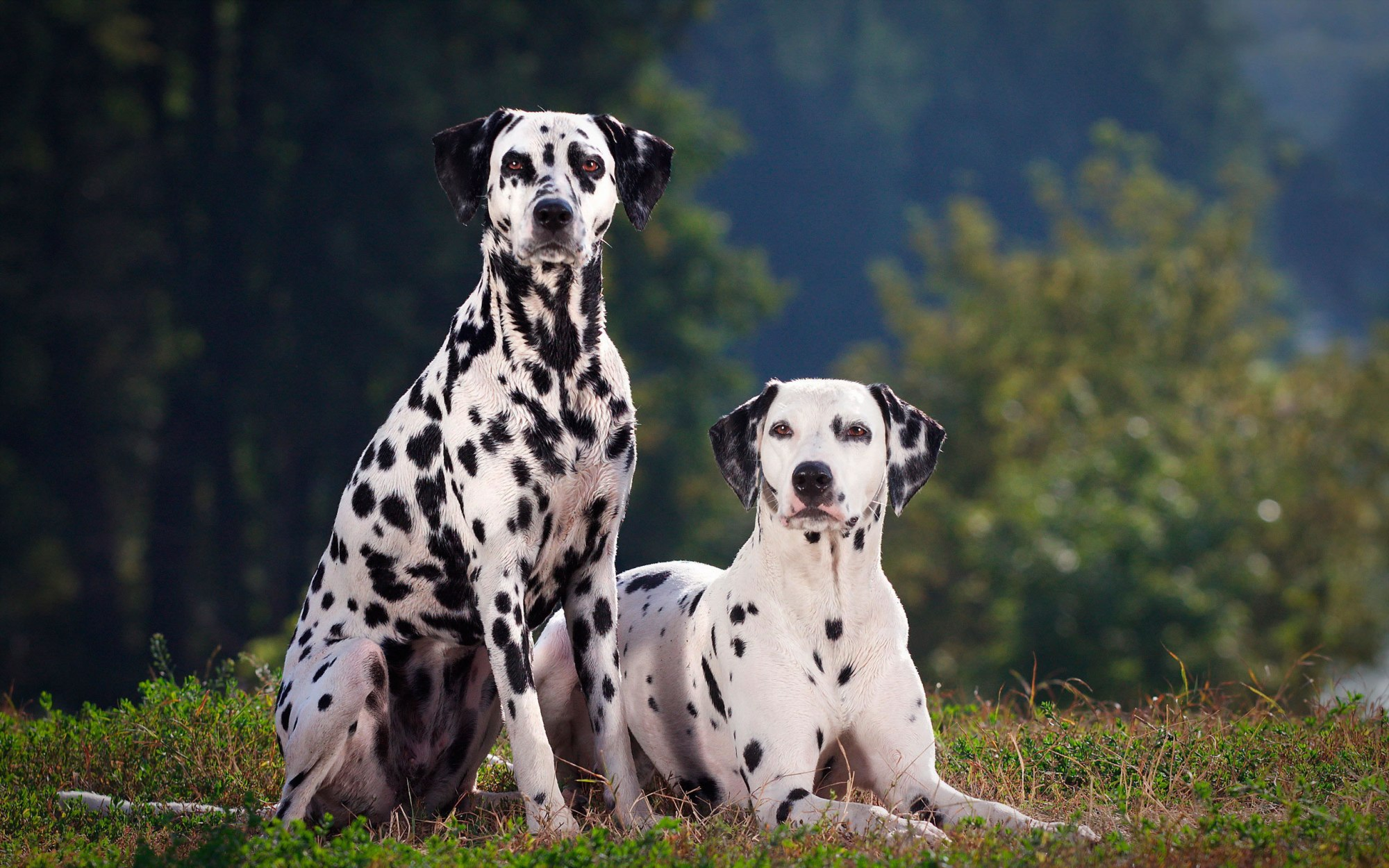 Dalmation Canis Lupus Familiaris Symbolic Meaning Whispers