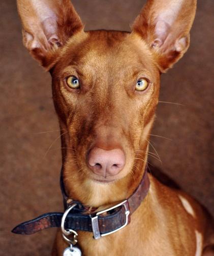 6_pharaoh_hound
