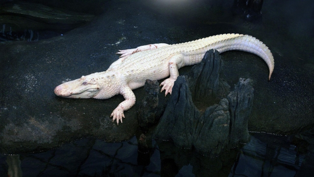 White Alligator Symbolic Meaning Whispers Channels Prophecies