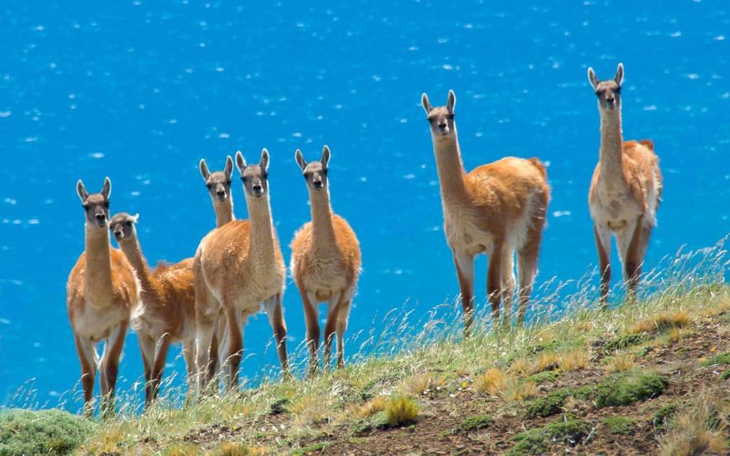 844448-llama-wallpaper.jpg