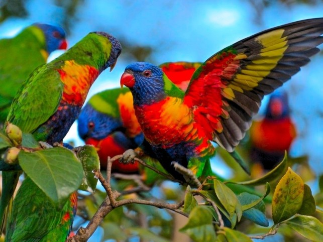 multicolor-parrots-rainbow-lorikeet-bird-wallpapers-free-download-beautiful-photos-of-birds-awesome-beautiful-hd-high-quality-lory-parrot-lorikeets-