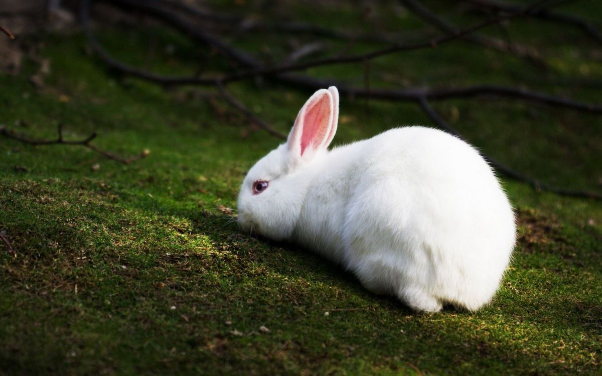 White Rabbit Symbolic Meaning Whispers Channels Prophecies Visions
