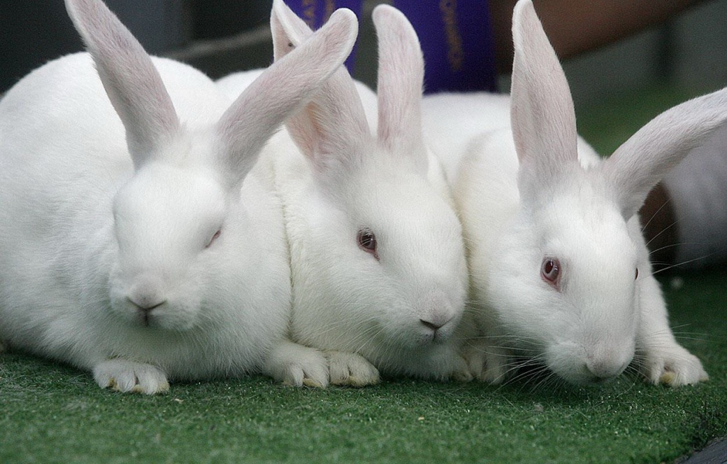 Beautiful-White-New-Zealand-Rabbits-Wallpapers