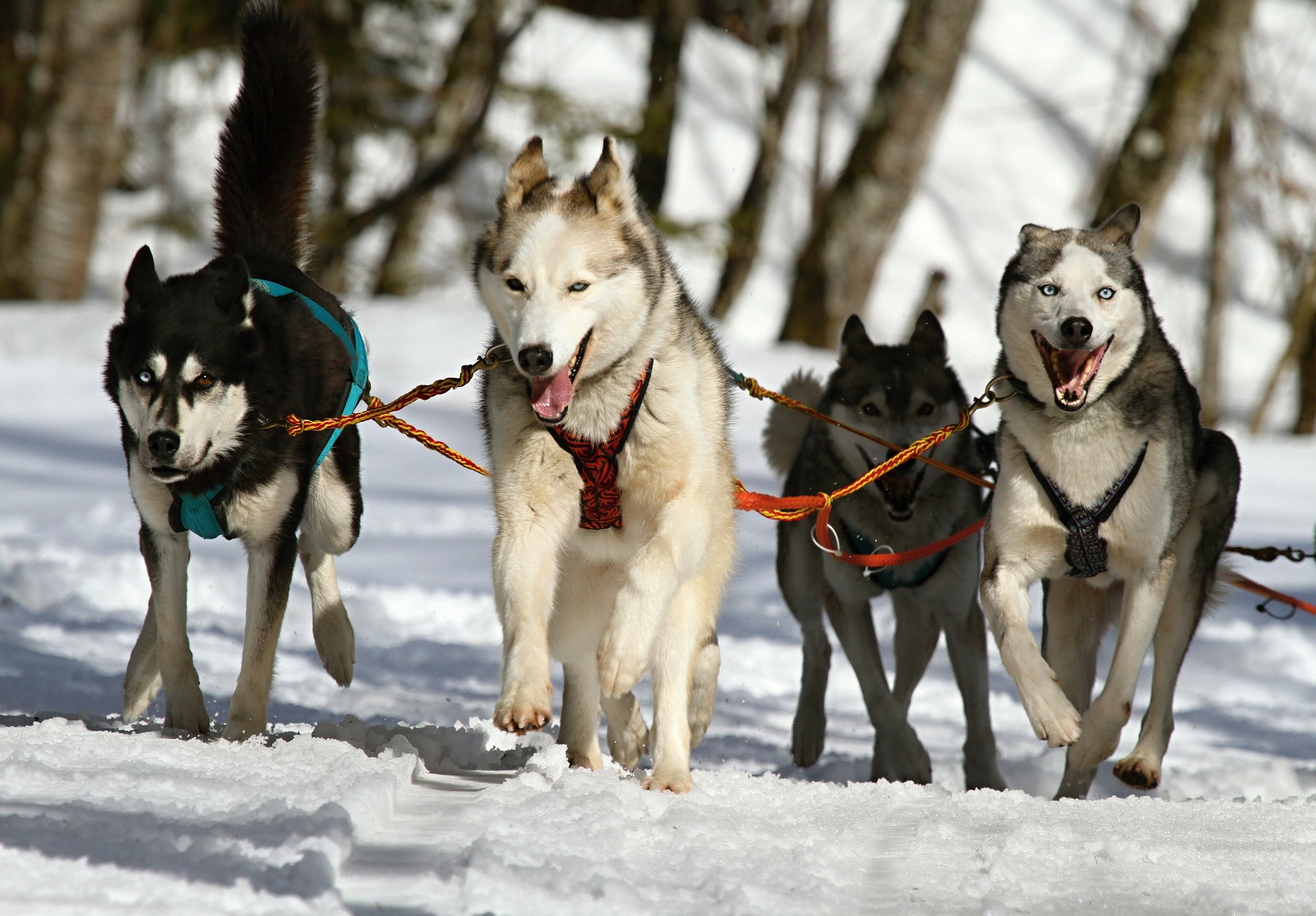 Siberian Husky Symbolic Meaning Canis Lupus Familiaris Whispers