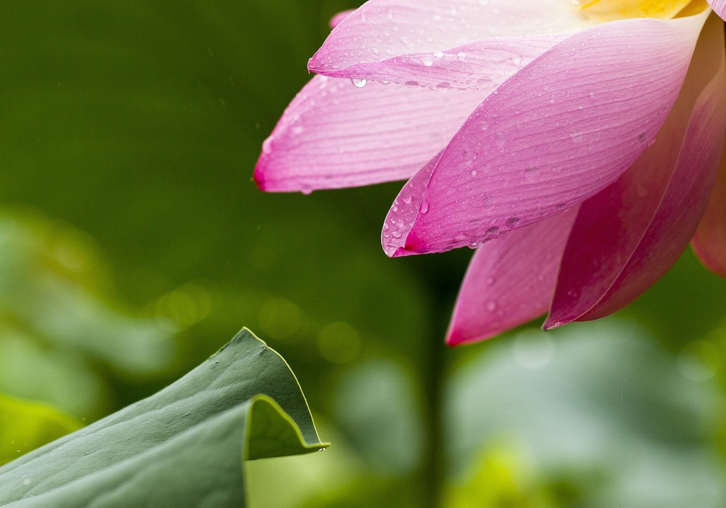 lotus-614492_1920.jpg