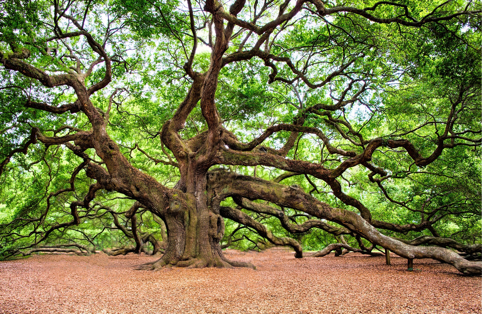 Angel Oak Tree Symbolic Meaning Whispers Channels Prophecies