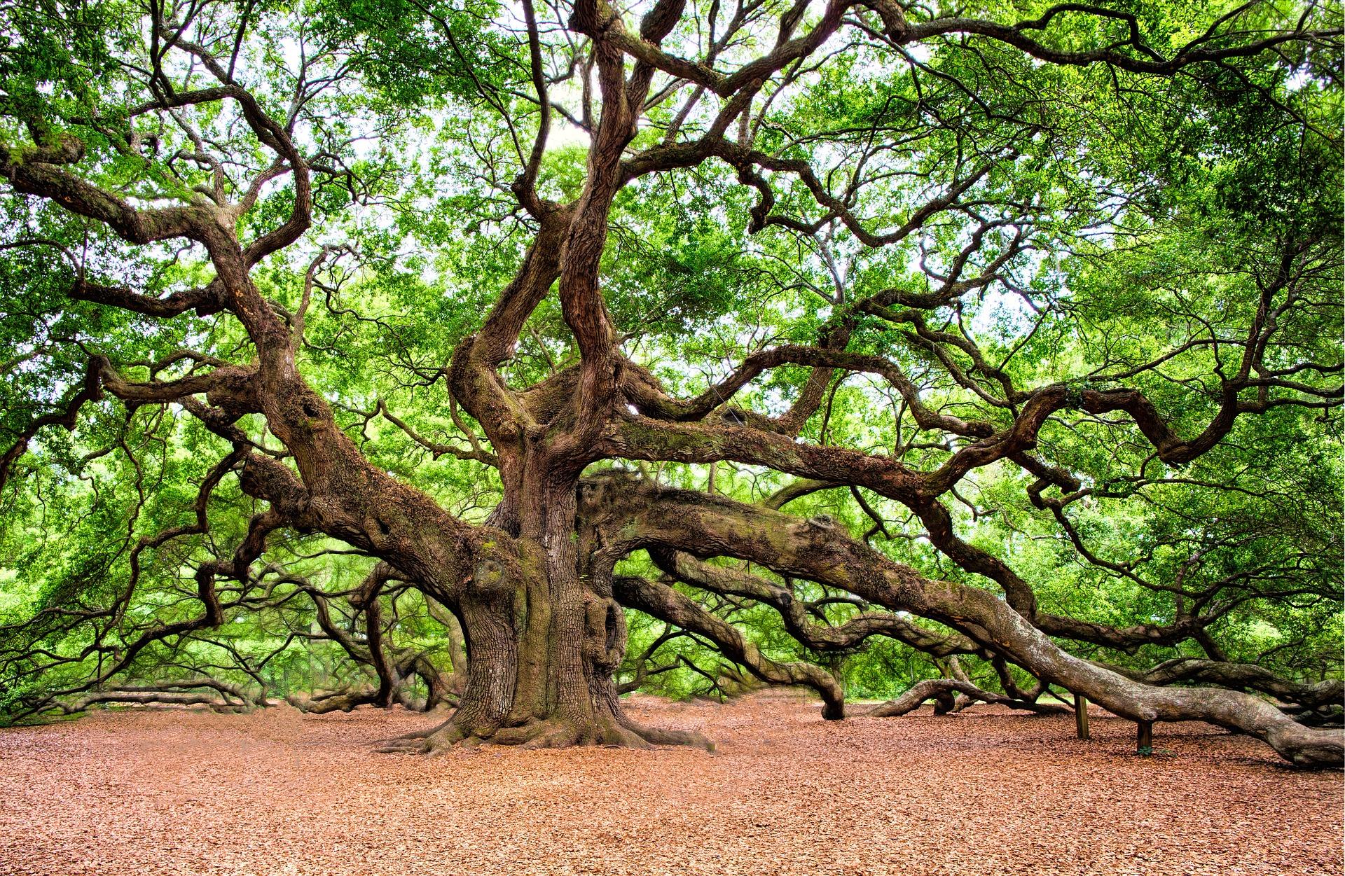 Angel oak tree symbolic meaning whispers channels prophecies angel oak tree symbolic meaning whispers channels prophecies visions biocorpaavc