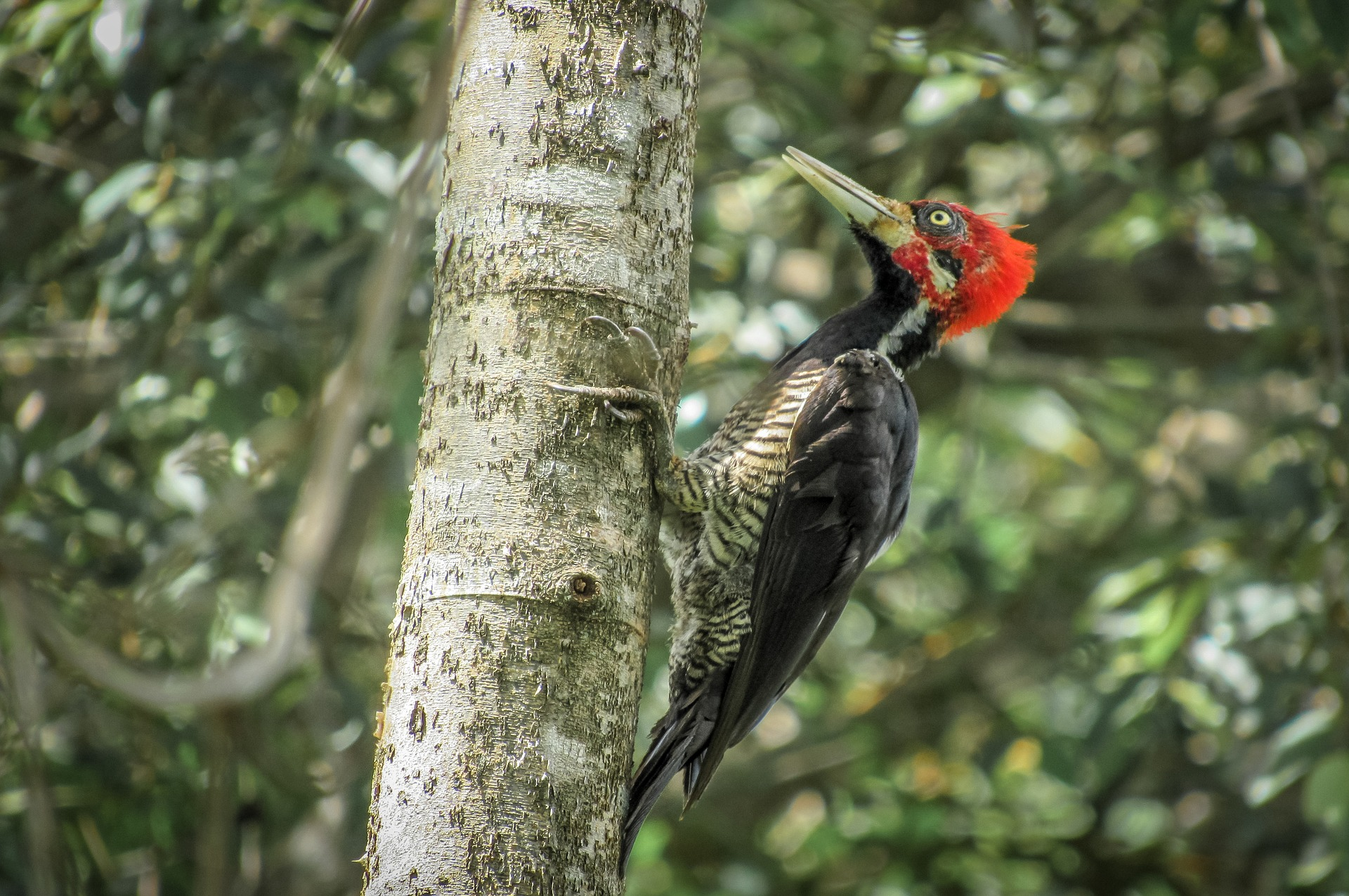 Red headed woodpecker symbolic meaning whispers channels red headed woodpecker symbolic meaning whispers channels prophecies visions buycottarizona Images