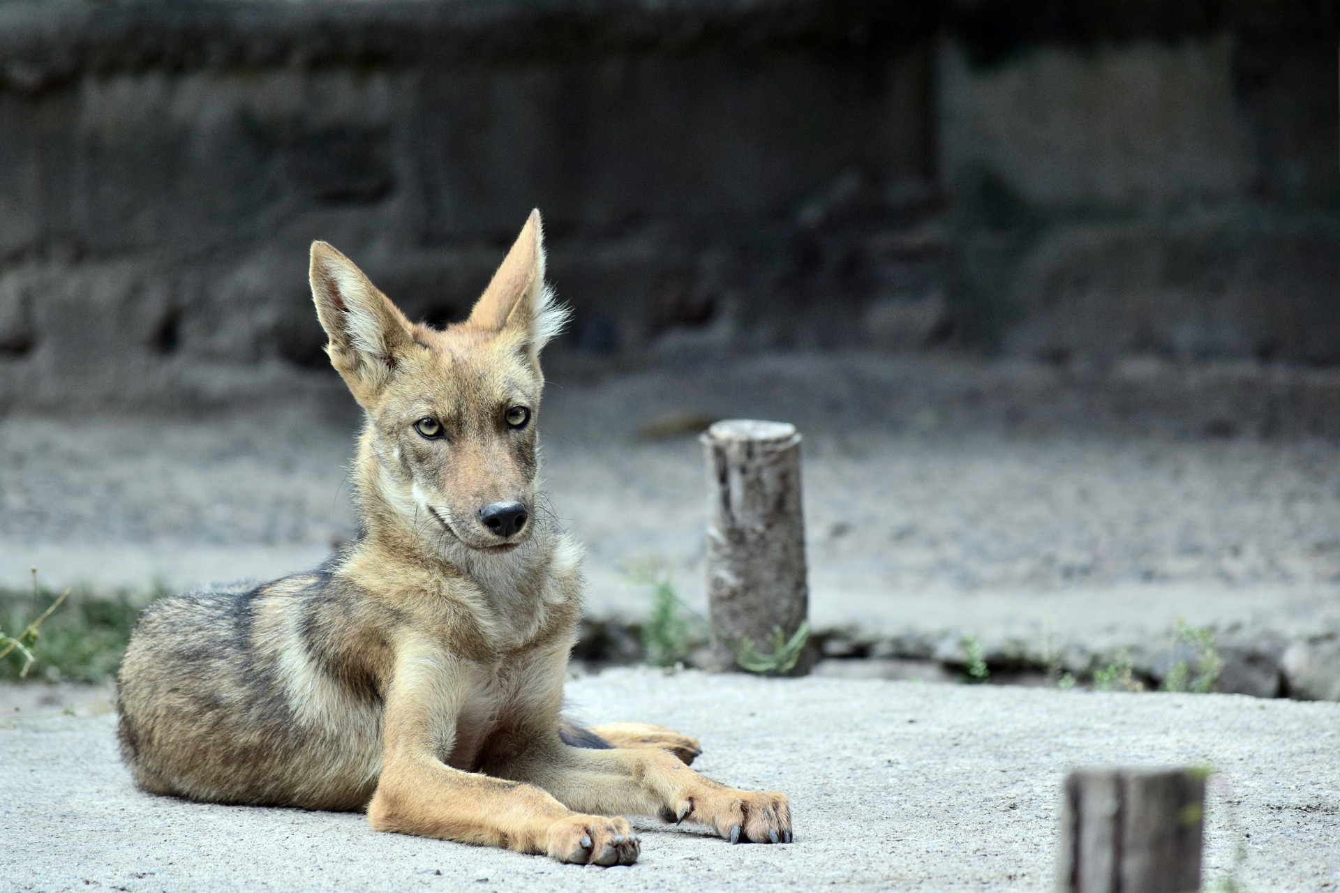 Coyote Symbolic Meaning Whispers Channels Prophecies Visions
