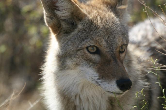 coyote-948799_1920