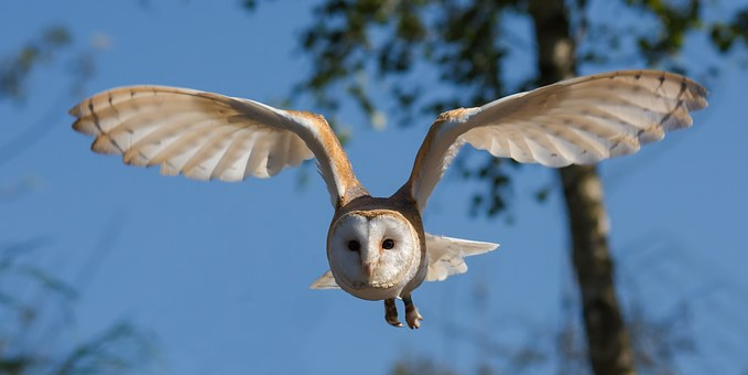 Barn Owl Symbolic Meaning Whispers Channels Prophecies Visions