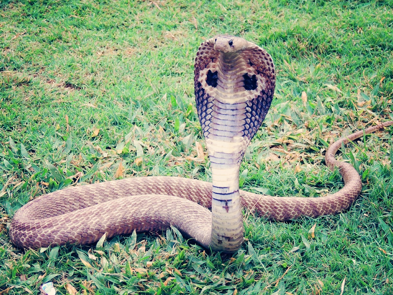 Cobra Snake Symbolic Meaning Whispers Channels Prophecies Visions