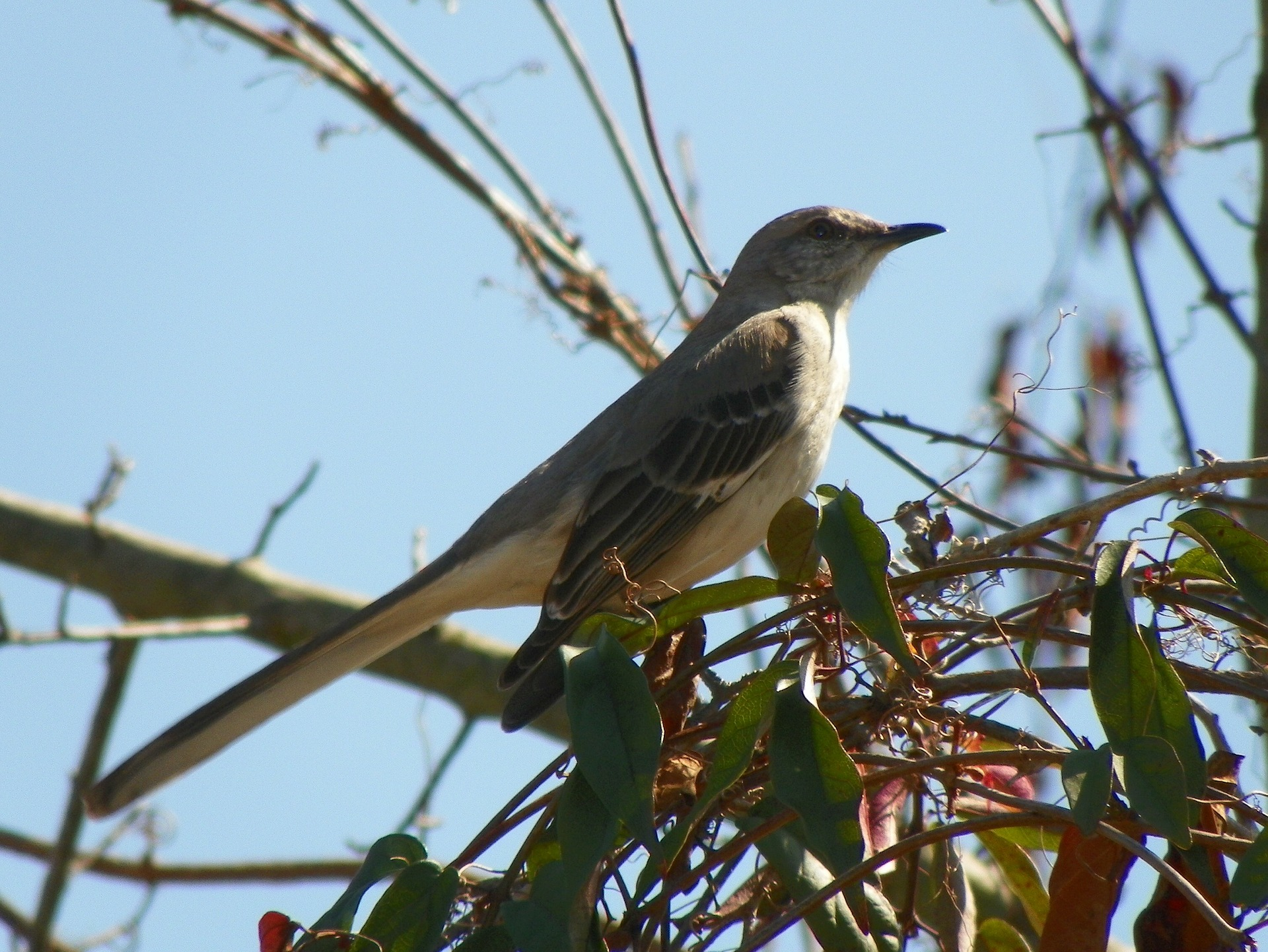 Symbolic Meaning of Mockingbird – Whispers, Channels