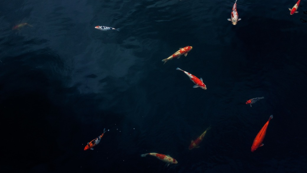 Koi Fish Symbolic Meaning Whispers Channels Prophecies Visions
