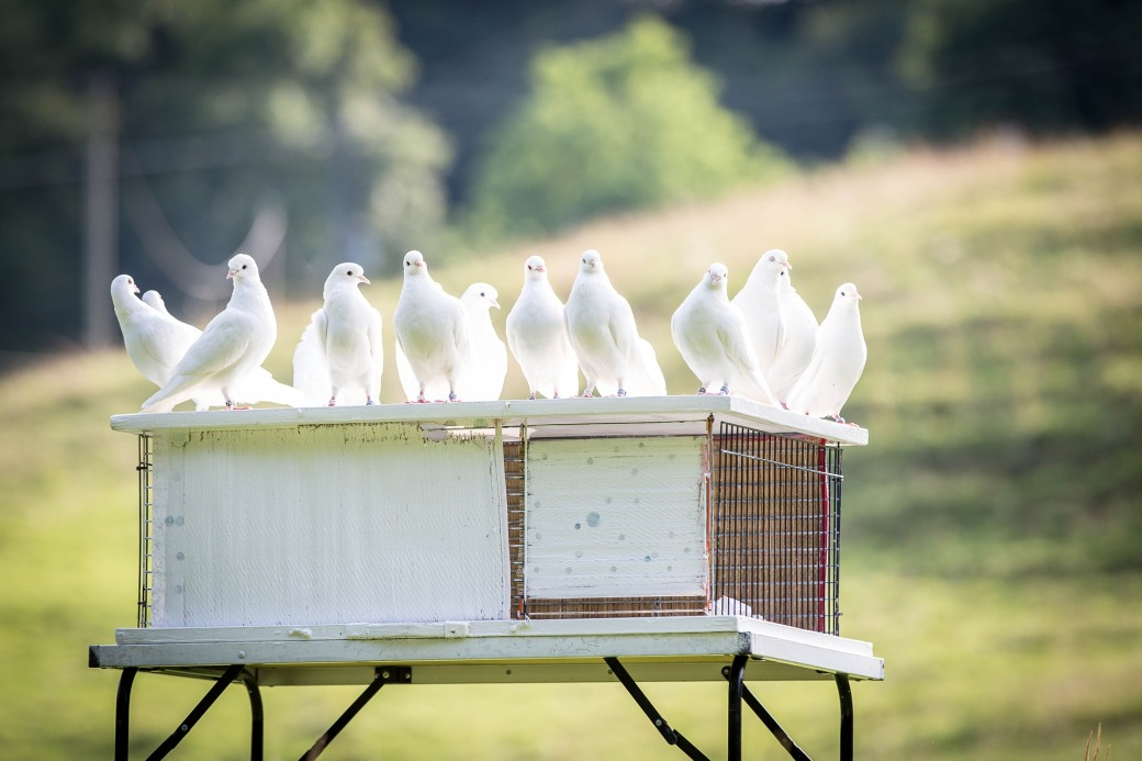 White Dove Symbolic Meaning Whispers Channels Prophecies Visions