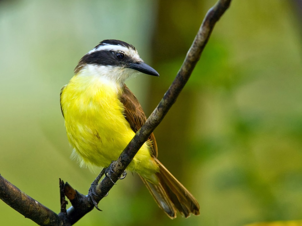 wallpaper-great-kiskadee-0-interesting