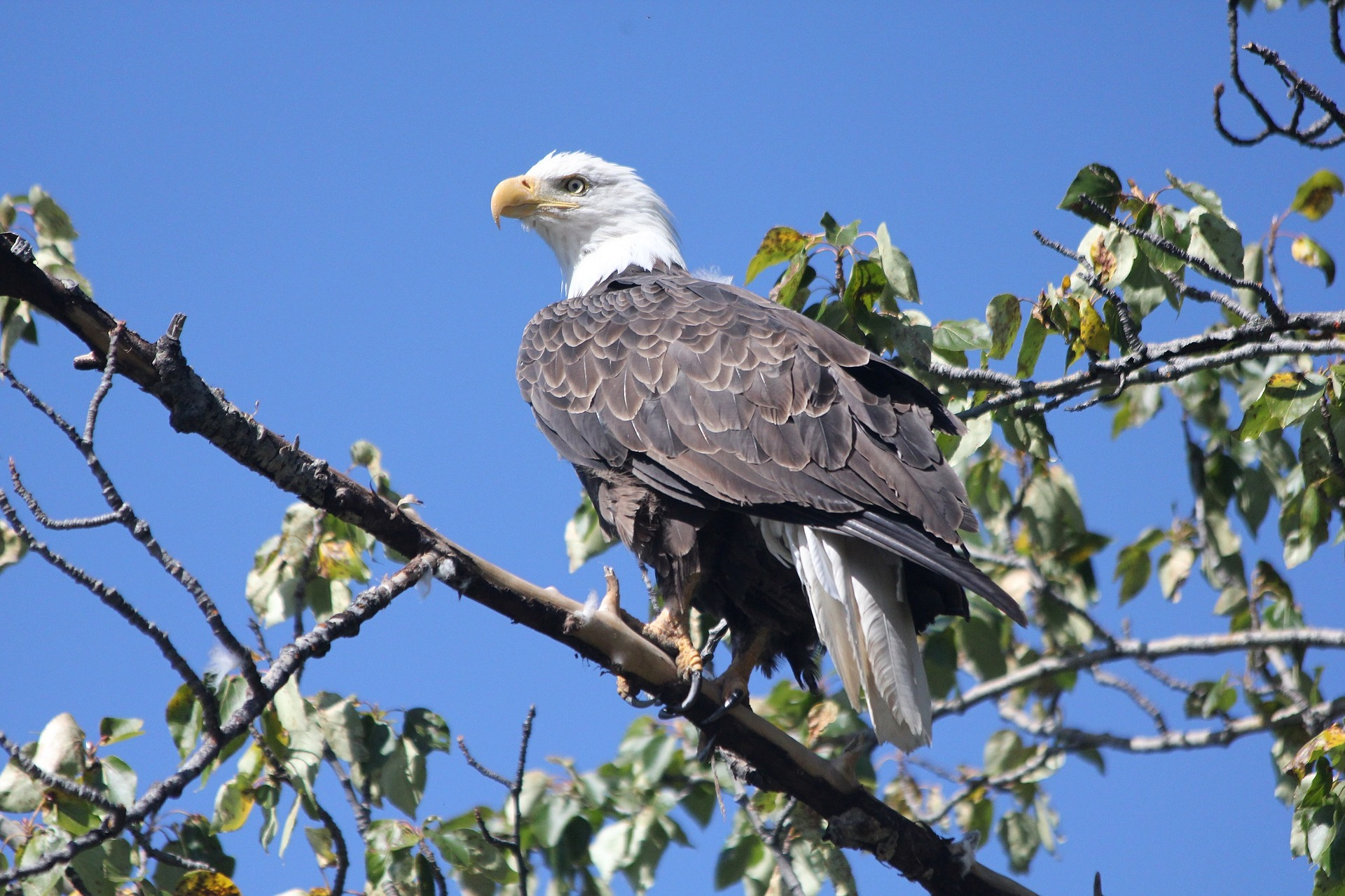 Bald eagle symbolic meaning whispers channels prophecies visions biocorpaavc Choice Image