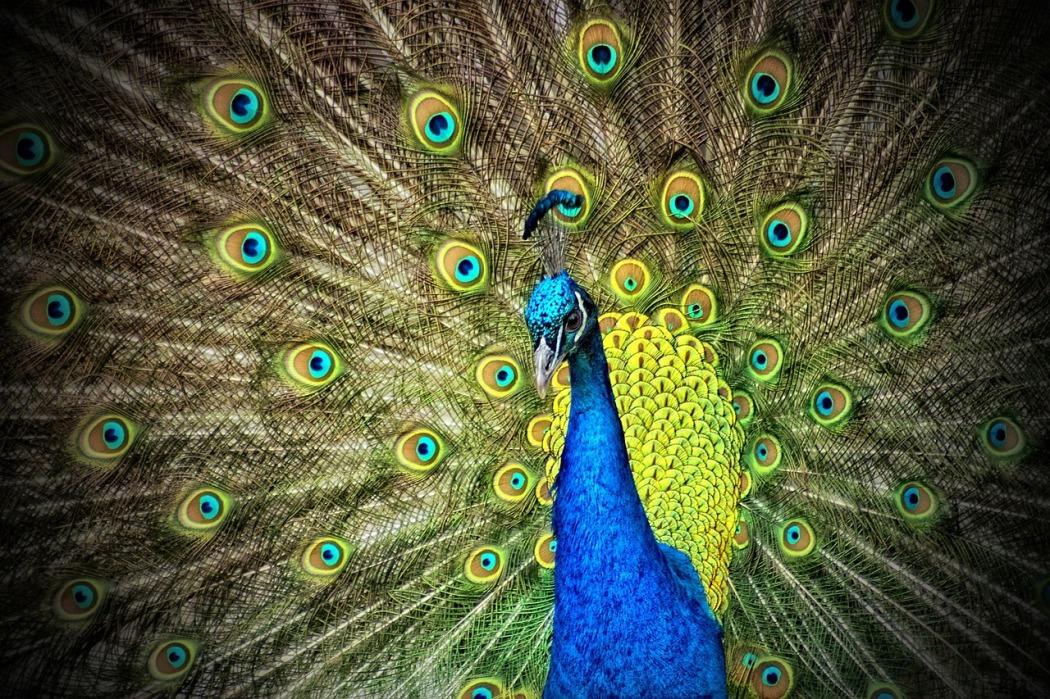 peacock-50515_1280