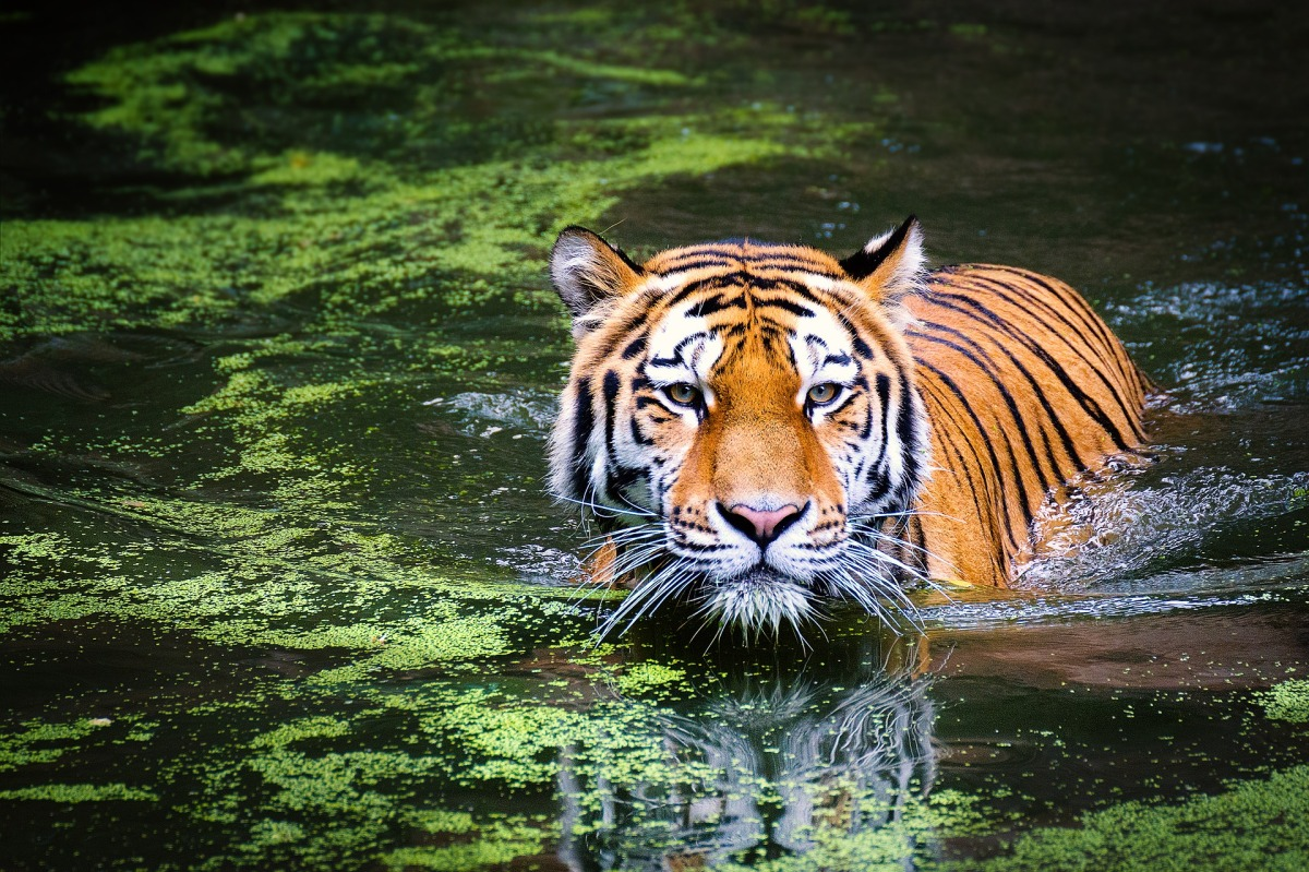Tiger Symbolic Meaning Whispers Channels Prophecies Visions