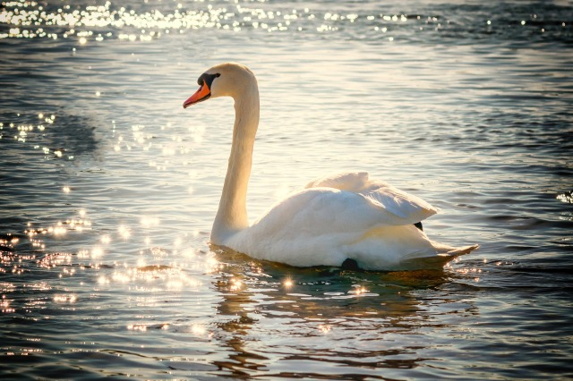 Swan Symbolic Meaning Whispers Channels Prophecies Visions