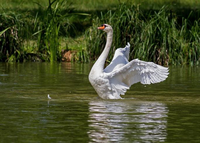 swan-359931_1920